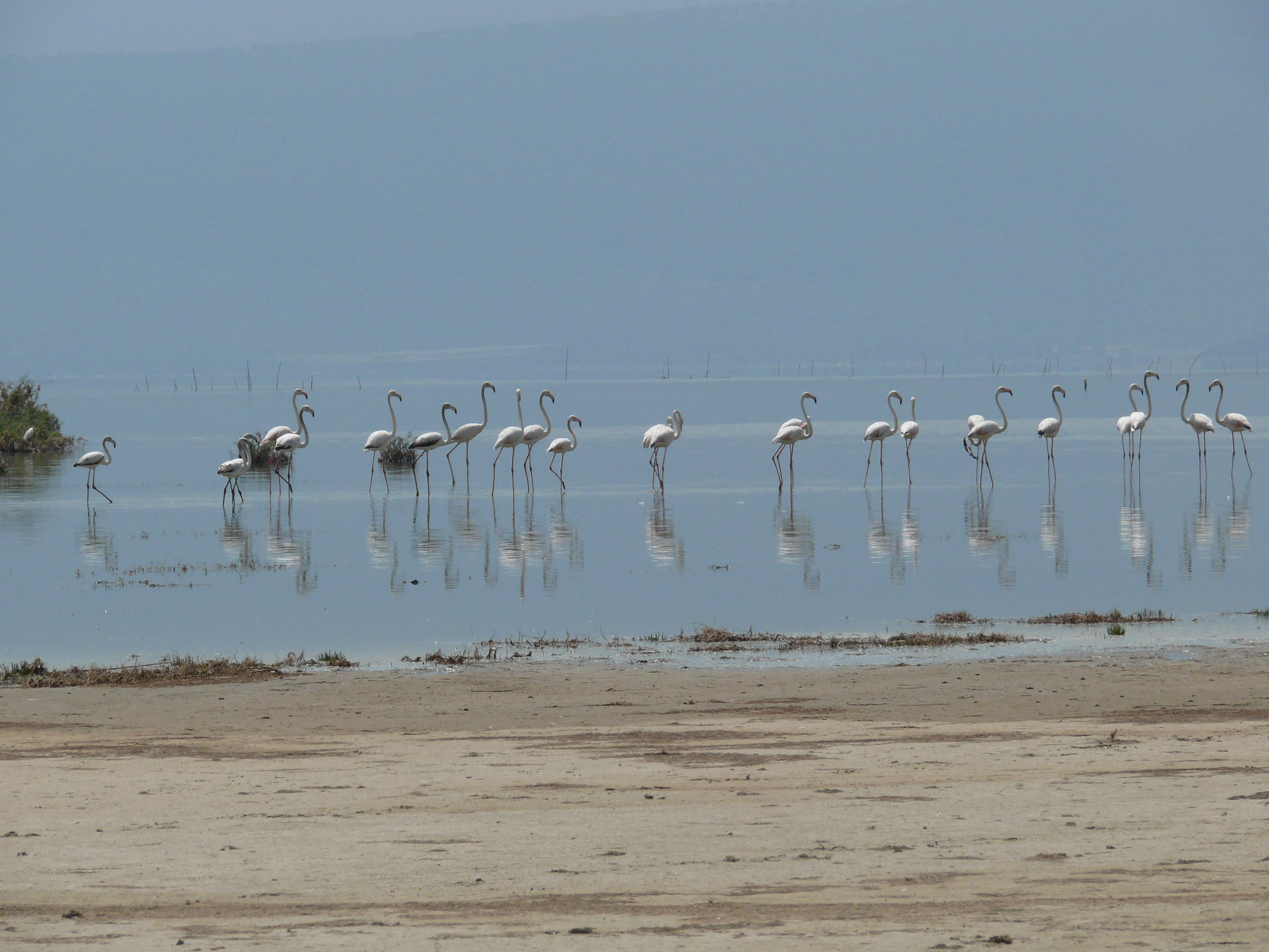 Flamingos in Sercin