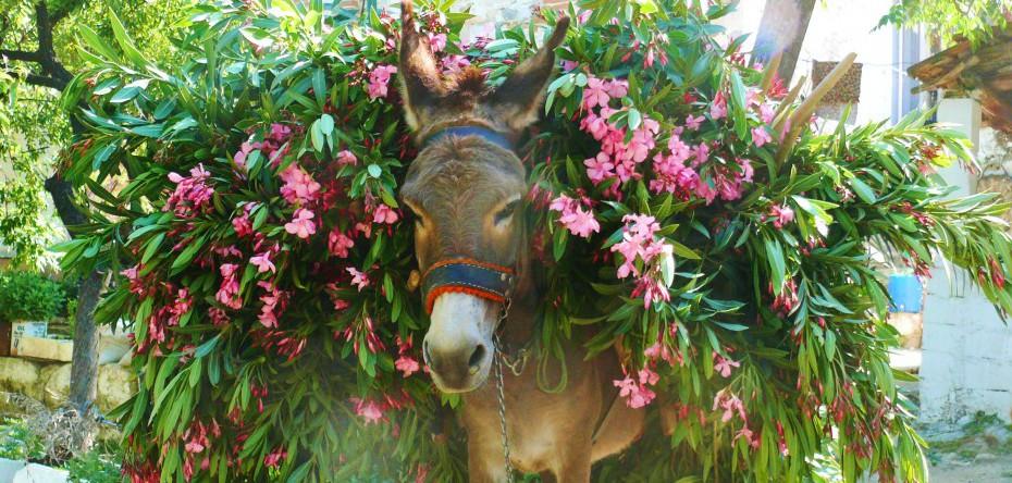 Oleander-Esel