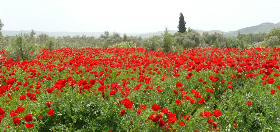 Mohnblüte bei Milet
